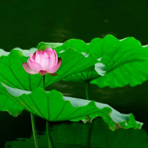lotus-39