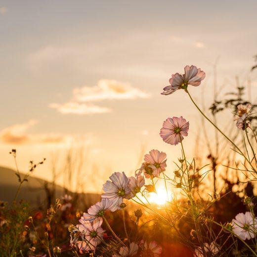 sunset_flower